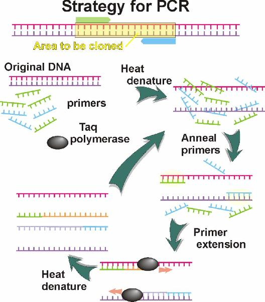 Basic Steps Of The Dna Process