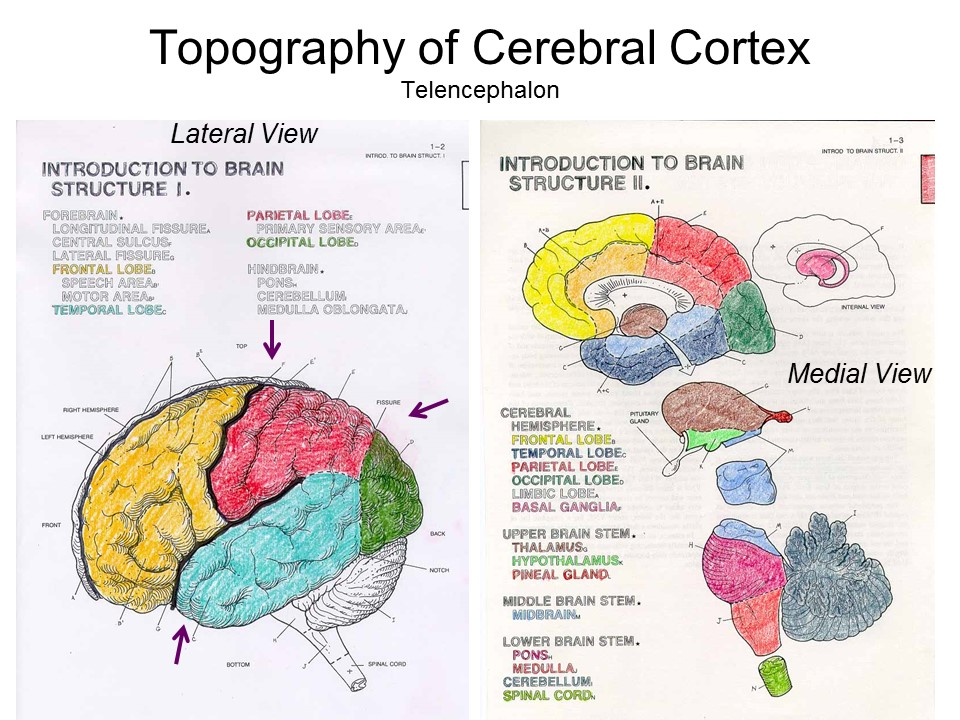 The Map Of Cerebral Cortex Shows Two Different Views Brain Lateral View Simply Looks At From Side