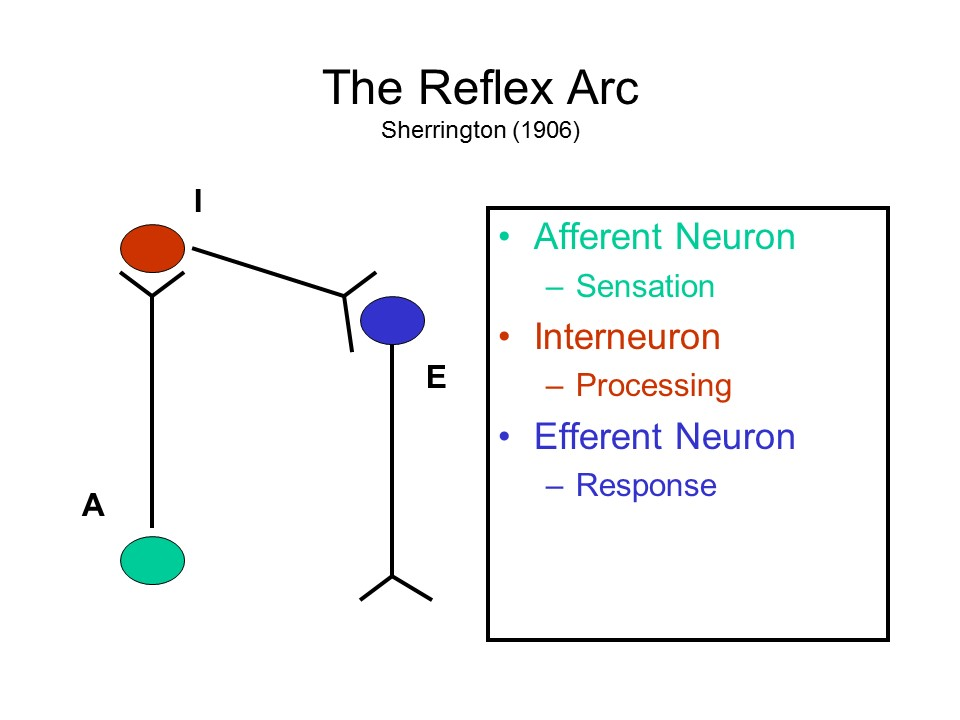 Biological bases of mind and behavior a sequence of these three types of neurons constitutes the reflex arc described by charles sherrington 1857 1952 a british physiologist who won the ccuart Image collections