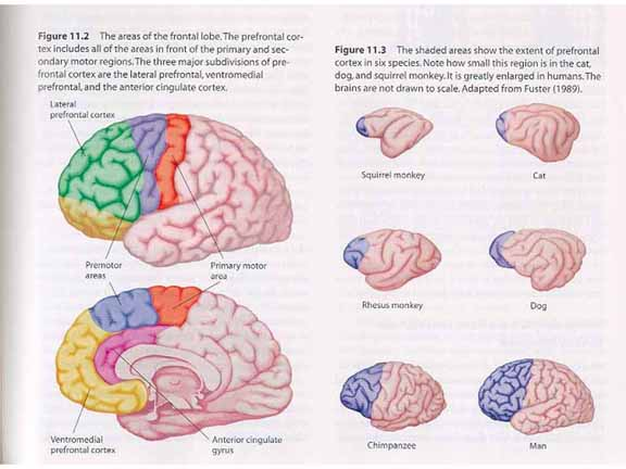 The role of the prefrontal cortex Coursework Academic Service