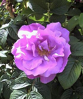 <img:http://www.ocf.berkeley.edu/~jonc/album/rose1/rose07.jpg>
