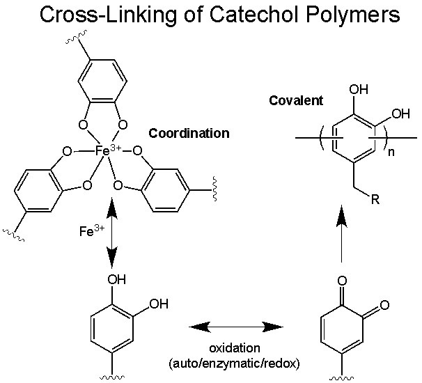 4 crosslinking of catechol polymers