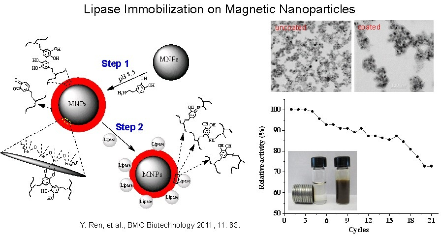 9 lipase immobiliation on magnetic nanoparticles
