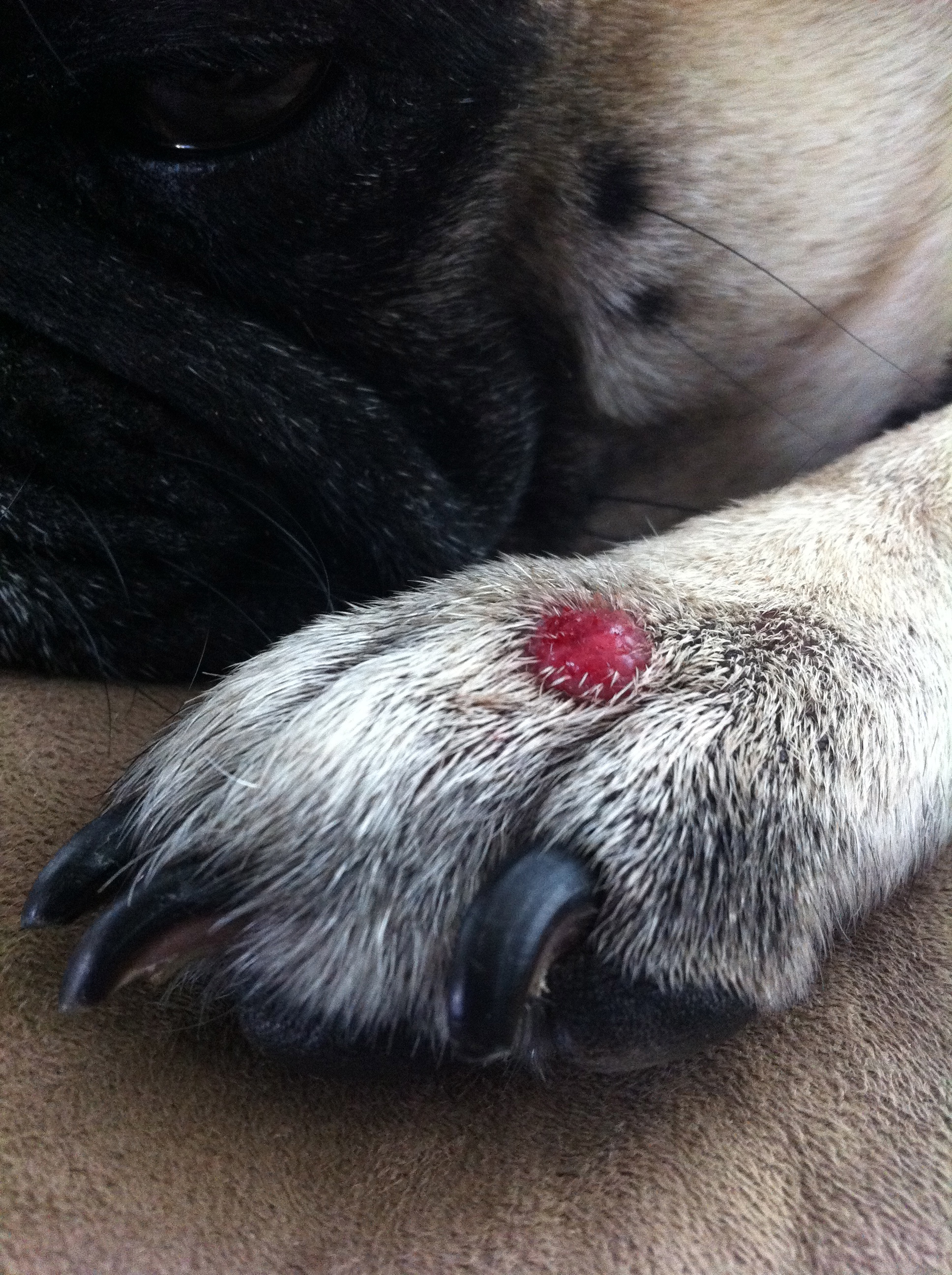 growth on dog paw